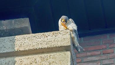 Photo: Terug bij het Azaliaplein ook een poetsend mannetje, maar hier de volwassen [UW].