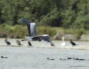 Photo: Gray Heron (Airone Cenerino), Vendicari Wetlands, south of Avola