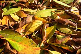 Photo: Leaves foliage deadfall Santa Barbara