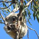 Northern/Queensland Koala (Joey)