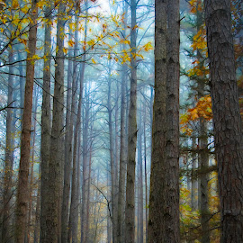 by Dana Johnson - Landscapes Forests ( forest, pine trees, trees, landscape, morning )