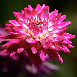 Dahlia 8403~ by Raphael RaCcoon - Flowers Single Flower