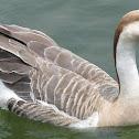 White Chinese Goose