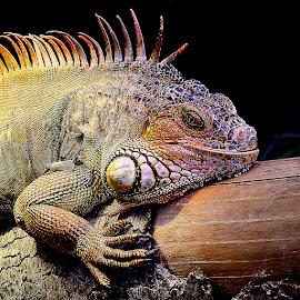 Iguane en colère by Gérard CHATENET - Animals Reptiles