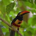 Fiery-Billed Aracari Toucan