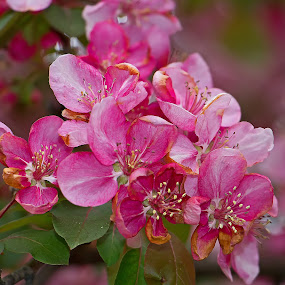Blossoms by Bill Diller - Flowers Tree Blossoms ( pink flowers, pink, flowers, comforting, michigan, nature, tranquil, peaceful, apple blossom, calm, tree blossoms, blossoms, calmness, tranquility )