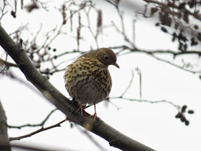 Photo: Middle Pool This Song Thrush paused mid-song to look around and here shows the rufous / brown crown to good effect. (Ed Wilson)