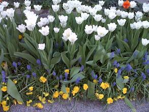Photo: Tulips at my alma mater, GW Law School