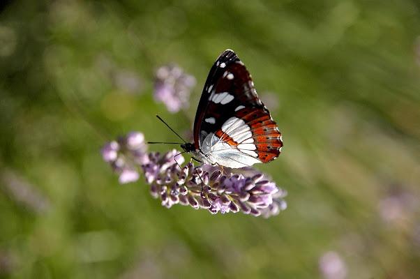 Farfalla su fiore di benny48