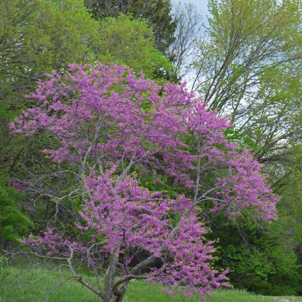 Redbuds at Blue Springs Lake,  Lee's Summit, MO