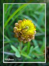 Photo: Trèfle bai, Trifolium badium