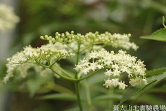Photo: 拍攝地點: 梅峰-溫帶花卉區 拍攝植物: 接骨木 拍攝日期: 2015_11_13_FY