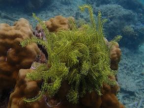 Photo: Crinoid sp. (Feather Star), Miniloc Island Resort reef, Palawan, Philippines.