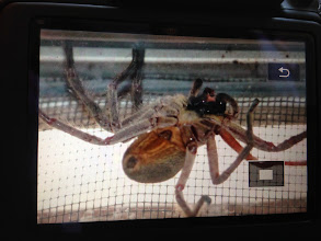 Photo: Because there were TWO of these Huntsman Spiders alive and well inside the house! This is a snapshot of the camera screen of Manuel's camera as none of the rest of us were up for getting that close! Yikes!!
