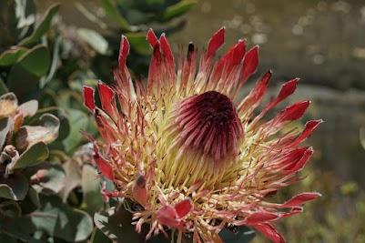 Blüter einer Königs-Protea