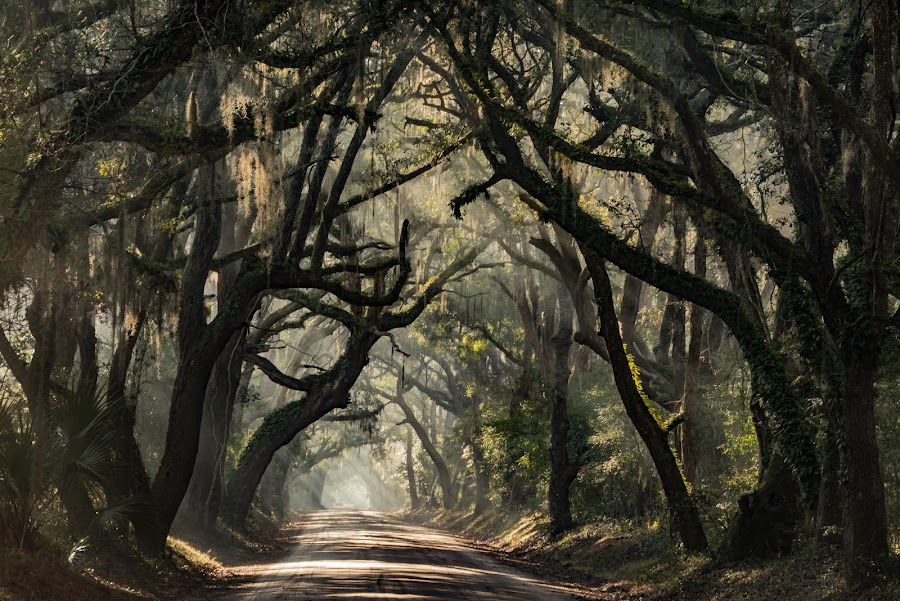 Carolina Canopy Road by Mike Moss - Landscapes Forests