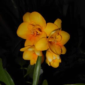 Shine like a yellow flower by Star Steel - Flowers Single Flower ( yellow flower, flower,  )