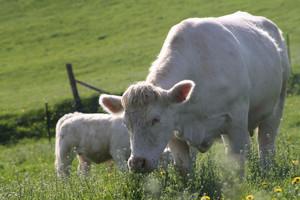 ferme de travailles vente directe producteur charolaise veau