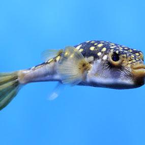Evil-eye pufferfish by Gregor Dinghauser- Dingo - Animals Fish