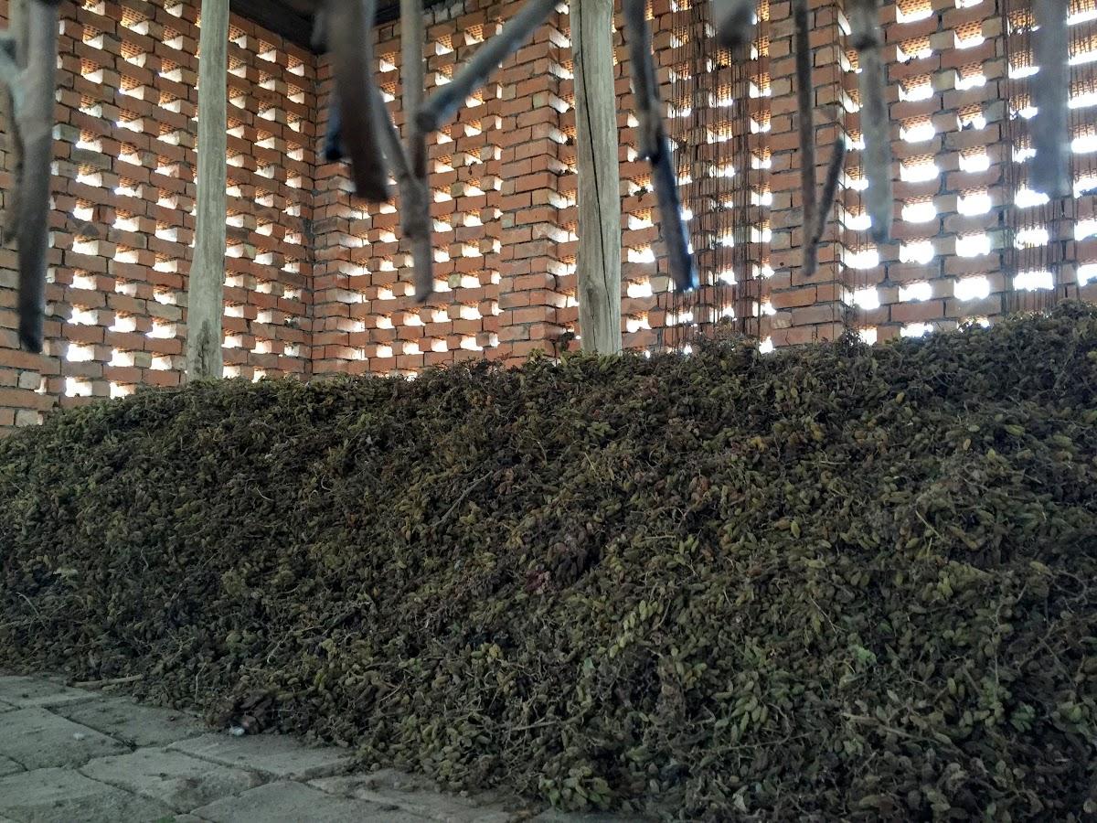 China. Xinjiang Turpan . Raisins drying in the chunce