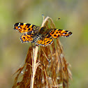 Map butterfly  - Spring Brood