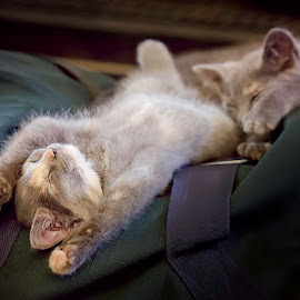 Barn Kittens by Jen St. Louis - Animals - Cats Kittens ( cats, animals, kittens, sleeping,  )