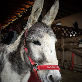 Donkey by Helga Be - Animals Horses ( gut aiderbichl )