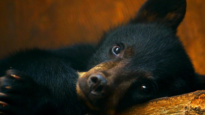 Watch Wild Bear Rescue live