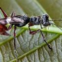 Wasp-mimic Mantis