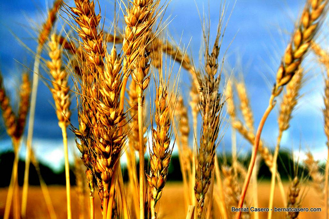 close-up photo of golden tops of wheat plants in a field, against a backdrop of a blue sky