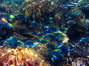 Photo: large school of parrotfish