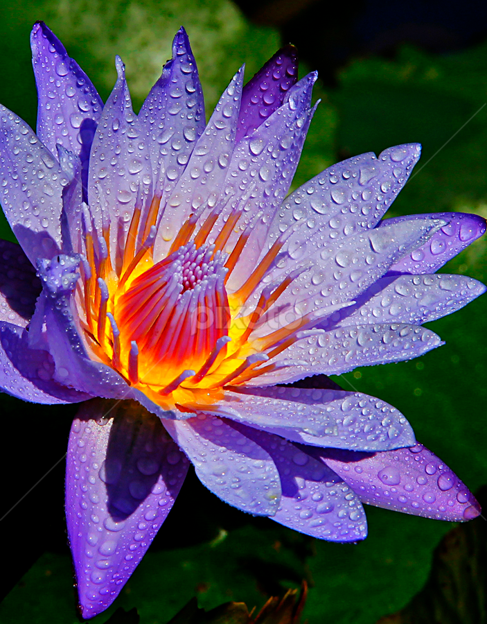 Lovely Lotus by Chev Sheva Chenko - Nature Up Close Flowers - 2011-2013