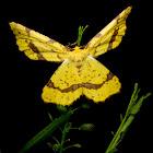 Crocus Geometer Moth