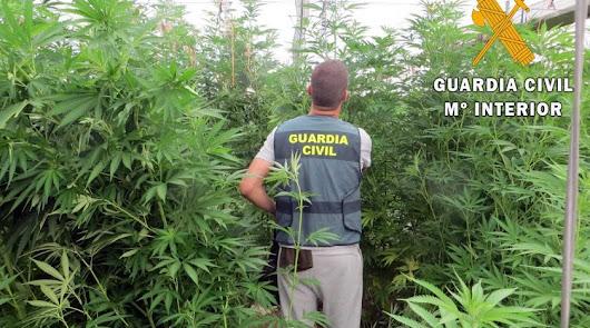 Tres detenidos en Berja con 638 plantas de marihuana ocultas entre hortalizas