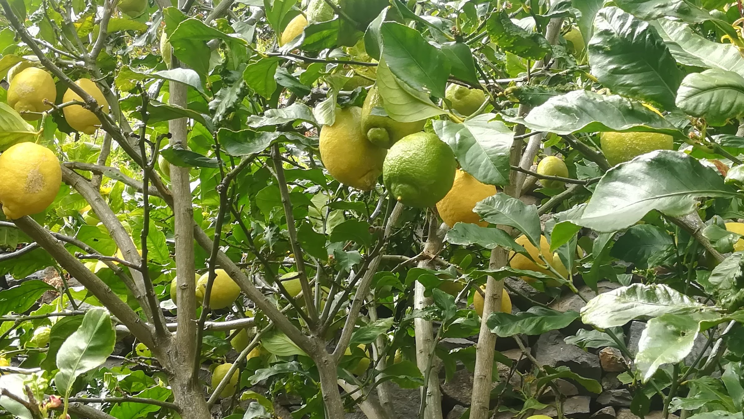 the lemon tree has surpassed all our expectations
