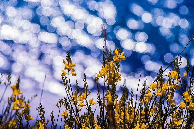 Ginestre in primavera di sarre 49