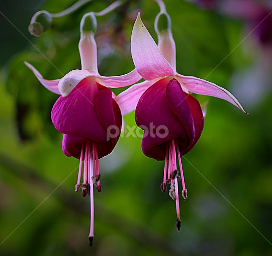 by Carmen Quesada - Flowers Flower Gardens ( purple, fuchsia, pink, beauty in nature, flowers, natural,  )