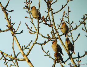 Photo: A small group from one of the large flocks of 100s of wintering Borehian Waxwings