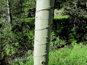 Photo: Spiral cut around an aspen tree