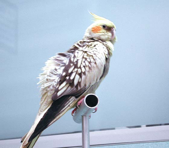 The owner noted that this pearl female cockatiel was fluffed and not eating its seed diet
