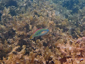 Photo: Stethojulis trilineata (Four-line Wrasse), Sand Island, Palawan, Philippines.