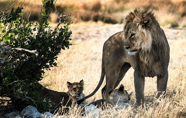 THE KING LION di Irene Vallerotonda
