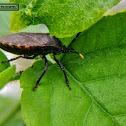 Dinidorid bug