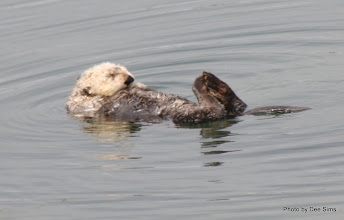 Photo: (Year 3) Day 20 - Otter Floating #7
