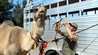 Camel Rancher