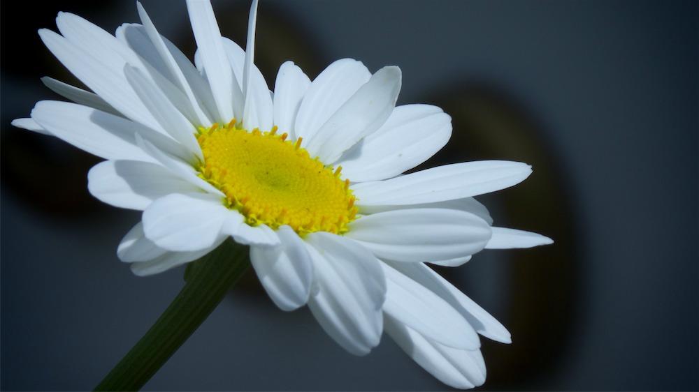 Best Daisy.jpg