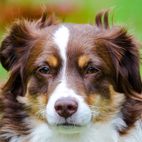 The Guard Dog by Penny Miller - Animals - Dogs Portraits ( red tri miniature australian shpherd, intense look on aussie dog face aussie dog, australian shepherd red tri, red tri aussie, dog portrait, red tri australian shepherd, australian shepherd, red tri mini aussie,  )