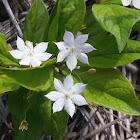 Pacific Starflower
