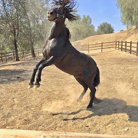 Stallion ... by Rose Smith - Animals Horses ( behaior, bad, today, stallion, on,  )