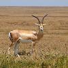 Gacela de Grant (Grant's gazelle)